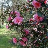 Camellia 'Brigadoon' - Find Azleas,Camellias,Hydrangea and Rhododendrons at Loder Plants